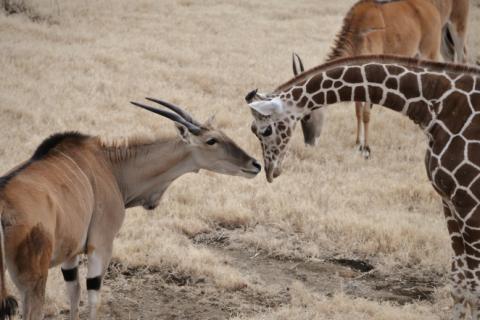 よこはま動物園ズーラシア キリン、エランド