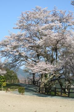 冨士山の桜