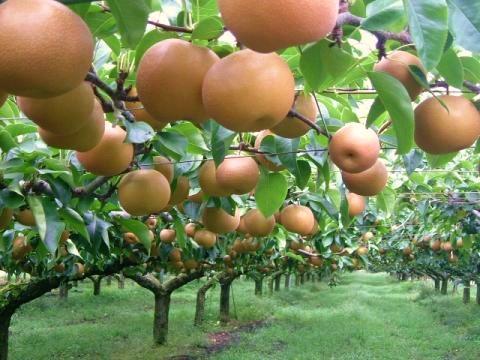 世羅大豊農園 梨